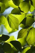 foto of elm  - Back lit close up of green Elm leaves - JPG