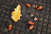 Oak Leaf And Acorns