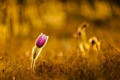 Pasqueflowers In Spring