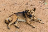 image of stray dog  - Thai Stray Dog  - JPG