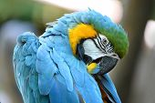 Portrait of blue and yellow macaw grooming feathers