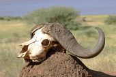pic of cape buffalo  - The skull of an african cape buffalo  - JPG
