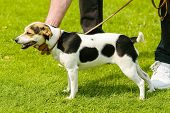 picture of spotted dog  - Lovely small spotted dog held by handler - JPG