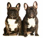Two dark french bulldogs