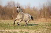 stock photo of appaloosa  - Gorgeous appaloosa running alone in spring nature - JPG
