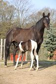 Nice Brown Mare With Its Piebald Foal