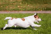 Jack Russell Terrier running outside