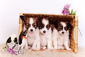 Three Papillon Puppies on white background