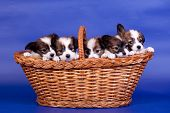 foto of epagneul  - Five Papillon Puppies - JPG