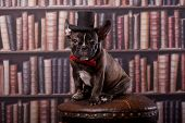 French bulldog puppy with neck bow hat in library