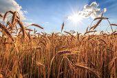 Grain and sun