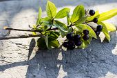 Aronia Fruit Known As Chokeberry