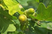 Acorns On The Oak-tree