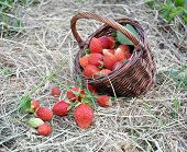 The Basket With A Strawberry Lies On Hay