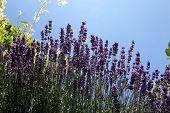 Lavander flower field