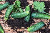 Freshly Picked Cucumbers