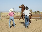 foto of brahma-bull  - Breaking a young horse for riding - JPG