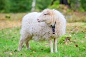 Dwarf white sheep in forest