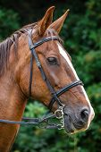 pic of reining  - Side view portrait of brown horse with reins - JPG