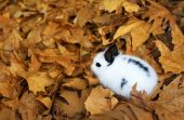 Cute fluffy bunny in autumn leaves poster