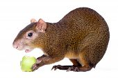 Central American agouti on white