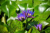 Purple Lotuses In The Pond