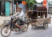 Merchant On Motorcycle Brings His Bull To The Cow For Procreation.