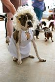 Dog Wears Marilyn Monroe Costume In Contest