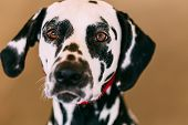 foto of spotted dog  - Close up of the face of a dalmatian dog - JPG