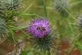 Western Honeybee