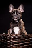 French bulldog puppy on black background