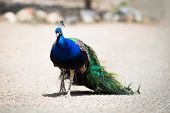 stock photo of female peacock  - Beautiful male peacock lying on green lawn atracting female.