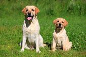 Labrador retriever-mother and her puppy