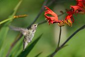 stock photo of crocosmia  - Annas Hummingbird Feeding on red Crocosmia flowers