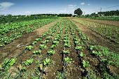 Plantations With Lettuce