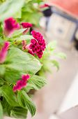 pic of celosia  - Celosia or Wool flowers or Cockscomb flower in the garden or nature park - JPG