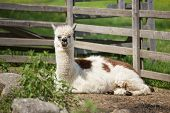 Alpaca In A Petting Zoo