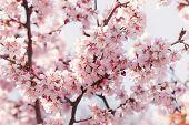 Sakura In Bloom Close Up Photo