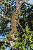 picture of monitor lizard  - Nile Monitor Lizard  - JPG