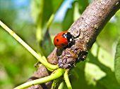 Ladybird (coccinella Septempunktata) And A Plant Louse