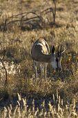 young Springbok eating grass