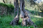picture of centenarian  - A centenarian olive tree growing in the middle of the wood - JPG