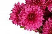 Burgundy Chrysanthemum Flowers