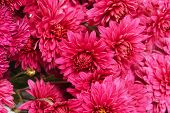 Background Of Burgundy Chrysanthemum Flowers