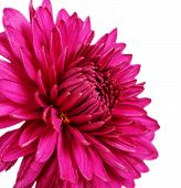 Burgundy Chrysanthemum Flower