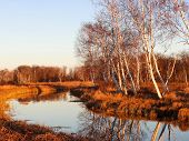 Autumn Birches Relected On The Levee