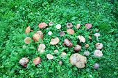 picture of edible mushroom  - A high angle view of a large group of picked edible and inedible wild forest mushrooms arranged on green grass - JPG