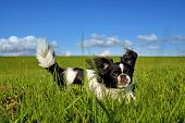 Black And White Pekingese Dog On Meadow