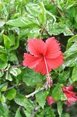 The red Hibiscus Rosa Sinensis