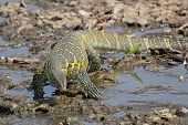 Tanzania Nile Monitor Varanus Niloticus Near River